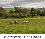 Sheep Grazing In A Meadow At...