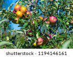 ripe fruits of red apples on... | Shutterstock . vector #1194146161