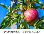 ripe fruits of red apples on... | Shutterstock . vector #1194146164