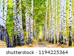 Birch Tree Alley Landscape....