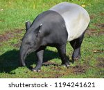 malayan tapir  tapirus indicus  ... | Shutterstock . vector #1194241621