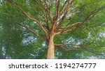 Small photo of Ivory coast almond is a shade tree