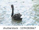 black swan in the pond  | Shutterstock . vector #1194283867