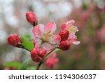 sakura flowers in botanic... | Shutterstock . vector #1194306037