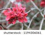 sakura flowers in botanic... | Shutterstock . vector #1194306061