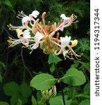 Delicate Honeysuckle Flower On...