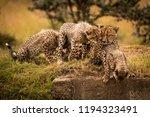 cheetah cub nuzzling mother... | Shutterstock . vector #1194323491