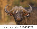 buffalo | Shutterstock . vector #119433391