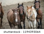 chestnut horses pack herd farm... | Shutterstock . vector #1194393064