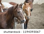 chestnut horses pack herd farm... | Shutterstock . vector #1194393067