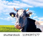 whita and black cow on a summer ...   Shutterstock . vector #1194397177