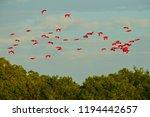 flock of ibis  wildlife nature. ...   Shutterstock . vector #1194442657