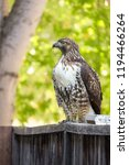 red tailed hawk perched on... | Shutterstock . vector #1194466264
