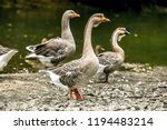 flock of domesticated chinese... | Shutterstock . vector #1194483214