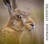 Stock photo portrait of vigilant european hare lepus europeaus hiding in grass and relying on camouflage 1194537361