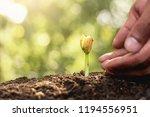 growing seedlings of fertile... | Shutterstock . vector #1194556951