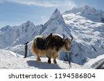 big shaggy yak stands  tethered ... | Shutterstock . vector #1194586804