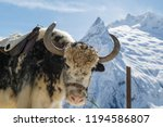 shaggy muzzle of a yak on the... | Shutterstock . vector #1194586807