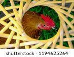 close up of hen in farmyard ... | Shutterstock . vector #1194625264