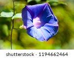 Purple Petunia Flower Blooming
