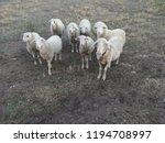 ruminant domestic mammalia.... | Shutterstock . vector #1194708997