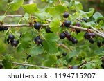 fresh jostaberry fruits as very ... | Shutterstock . vector #1194715207