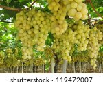 grapes in a wine vineyard in... | Shutterstock . vector #119472007