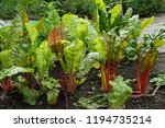 mangold plant on the small... | Shutterstock . vector #1194735214