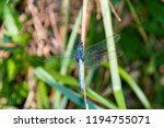 blue dragonfly on a leave in... | Shutterstock . vector #1194755071