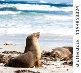 small sleeping australian sea... | Shutterstock . vector #1194853324
