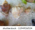 rapana venosa. veined rapa... | Shutterstock . vector #1194926524