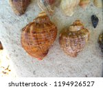 rapana venosa. veined rapa... | Shutterstock . vector #1194926527