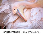 great white pelican also known... | Shutterstock . vector #1194938371