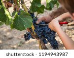 harvest of merlot in tuscany | Shutterstock . vector #1194943987