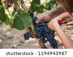harvest of merlot in tuscany | Shutterstock . vector #1194943987
