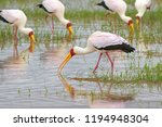 African Wading Stork  Yellow...