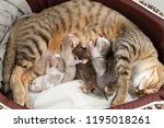 Stock photo the mother cat is nursing and the rest with the newborn kitten and kittens are sucking milk 1195018261
