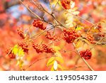 autumn tree ashberry bright... | Shutterstock . vector #1195054387