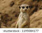 close up of a meerkat or...