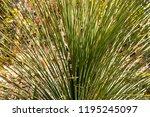 natural bouquet of wild grass.  | Shutterstock . vector #1195245097