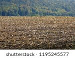 after the maize harvest  plant... | Shutterstock . vector #1195245577
