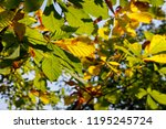 branches with oak leaves form a ... | Shutterstock . vector #1195245724