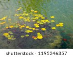 the colorful leaves of aquatic... | Shutterstock . vector #1195246357