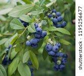 blueberries   delicious ... | Shutterstock . vector #1195256677