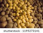 different varieties of potatoes ... | Shutterstock . vector #1195273141