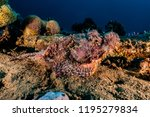 scorpion fish on the seabed  in ... | Shutterstock . vector #1195279834