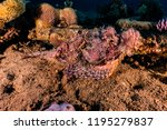 scorpion fish on the seabed  in ... | Shutterstock . vector #1195279837