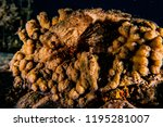 scorpion fish on the seabed  in ... | Shutterstock . vector #1195281007