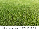green grass texture lawn.summer ...   Shutterstock . vector #1195317544
