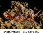 scorpion fish on the seabed  in ... | Shutterstock . vector #1195391557
